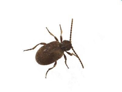Australian Spider Beetle (Ptinus Tectus) - Pest Solutions - Pest Control