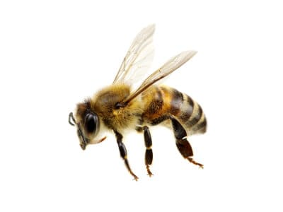 Bees (Apidae spp.) - Pest Solutions - Pest Control