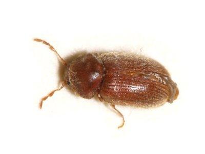 Biscuit Beetle (Stegobium Paniceum) - Pest Solutions - Pest Control
