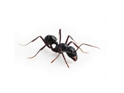 Black Ants (Lasius niger) - Pest Solutions - Pest Control