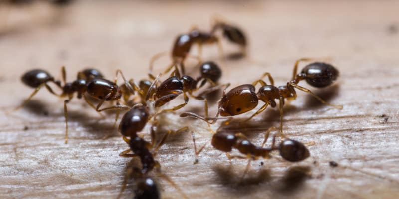 Black Ants (Lasius niger) - Pest Solutions - Pest Prevention