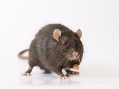 Black Rats (Rattus rattus) - Pest Solutions - Pest Control