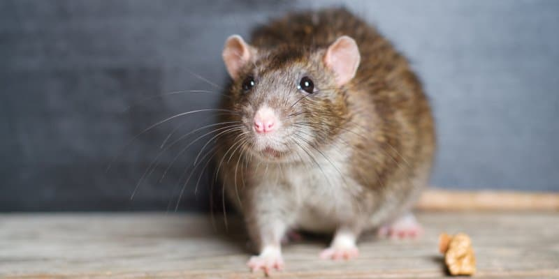 Black Rats (Rattus rattus) - Pest Solutions - Pest Prevention Glasgow