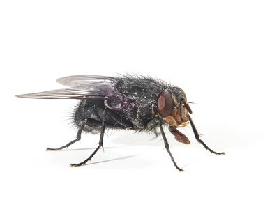 Bluebottle Flies (Calliphora vomitoria) - Pest Solutions - Pest Control