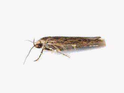 Brown House Moth (Hofmannophila pseudospretella) - Pest Solutions - Pest Control