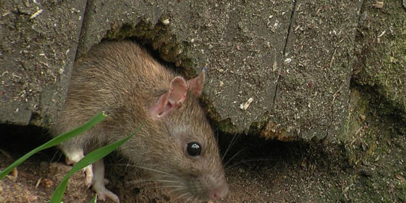 Brown Rat Under Fence - Rat Control - Pest Control Glasgow - Pest Solutions