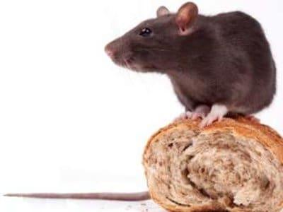 Brown Rats (Rattus norvegicus) - Pest Solutions - Pest Control