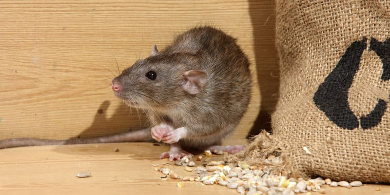 Brown Rats (Rattus norvegicus) - Pest Solutions - Pest Prevention Glasgow