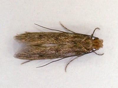 Case-Bearing Clothes Moth (Tinea pellionella) - Pest Solutions - Pest Control