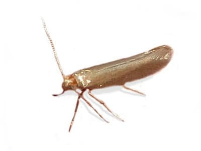 Common Clothes Moth (Tineola bisselliella) - Pest Solutions - Pest Control