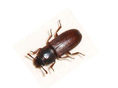 Confused Flour Beetle (Tribolium Confusum) - Pest Solutions - Pest Control