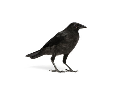 Crows (Corvidea spp.) - Pest Solutions - Pest Control