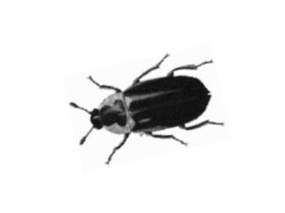 Dermestes Beetle (Dermestidae spp.) - Pest Solutions - Pest Control