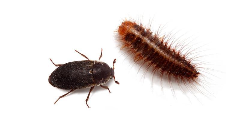 Dermestes Beetle (Dermestidae spp.) - Pest Solutions - Pest Prevention Glasgow