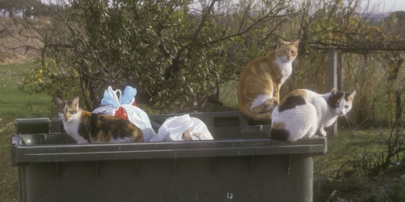 Feral Cats (Felis catus) - Pest Solutions - Pest Prevention