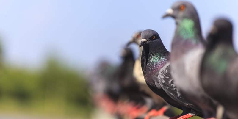 Feral Pigeons (Columba livia) - Pest Solutions - Pest Prevention
