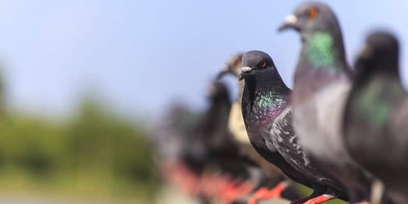 Feral Pigeons (Columba livia) - Pest Solutions - Pest Prevention