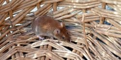 Field Mouse (Apodemus sylvaticus) - Pest Solutions - Pest Prevention Glasgow