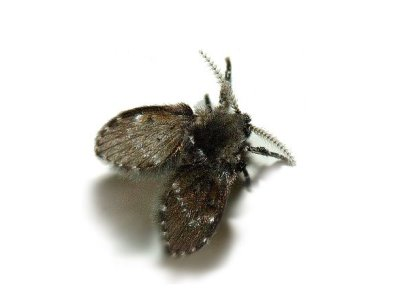 Filter Flies (Psychodidae spp.) - Pest Solutions - Pest Control