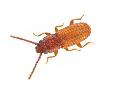 Flat Grain Beetle (Cryptolestes Pusillus) - Pest Solutions - Pest Control