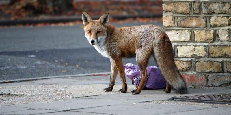 Foxes (Vulpes vulpes) - Pest Solutions - Pest Prevention