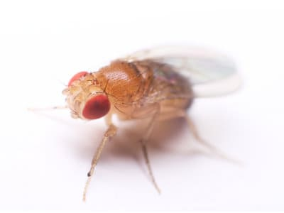 Fruit Flies (Drosophila spp.) - Pest Solutions - Pest Control