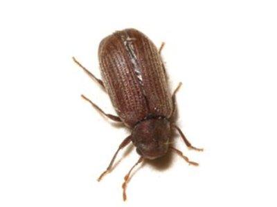 Furniture Beetle (Anobium punctatum) - Pest Solutions - Pest Control