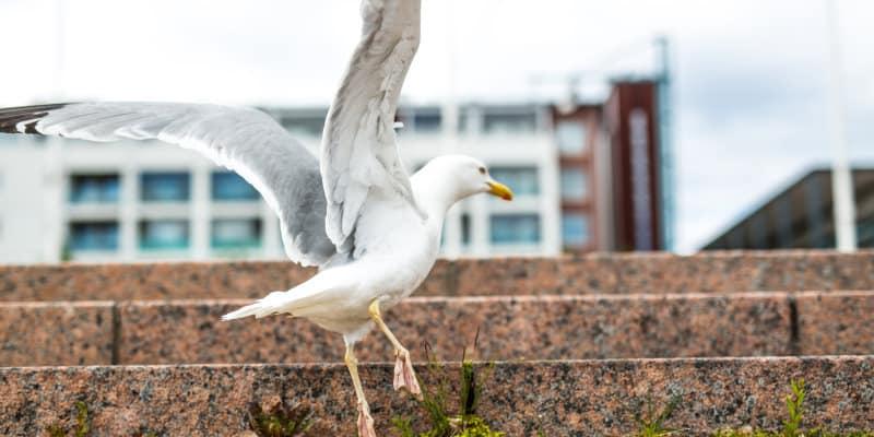 Gull Control Glasgow - Seagull - Pest Solutions - Pest Bird Control