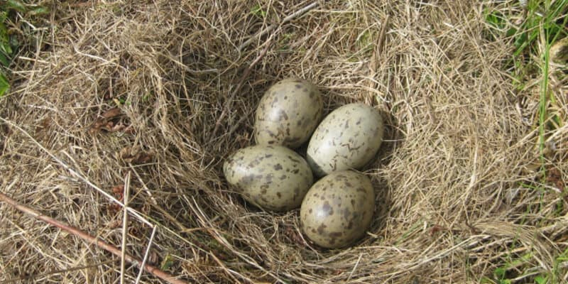Gull Egg Replacement Glasgow - Pest Solutions - Pest Bird Control
