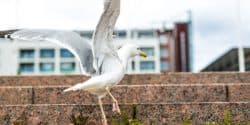 Gulls (Laridae spp.) - Seagull - Pest Solutions - Pest Prevention