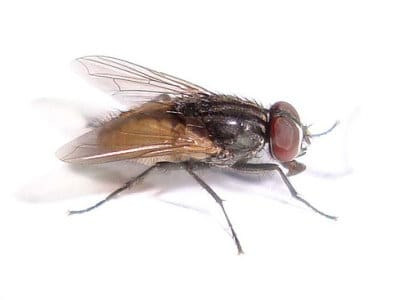 House Flies (Musca domestica) - Pest Solutions - Pest Control