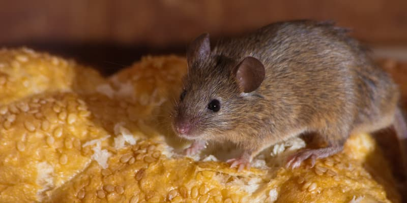 House Mouse (Mus domesticus) - Pest Solutions - Pest Prevention Glasgow