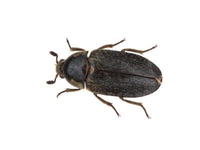 Leather Beetle (Dermestes maculatus) - Pest Solutions - Pest Control