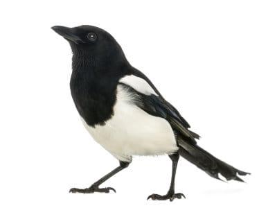 Magpies (Corvidae spp.) - Pest Solutions - Pest Control