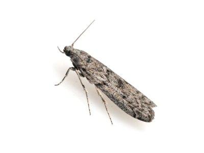 Mediterranean Flour Moth (Ephestia Kuehniella) - Pest Solutions - Pest Control