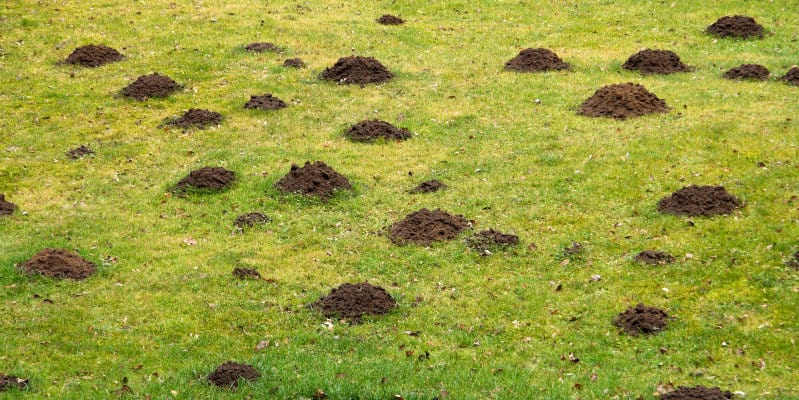 Mole Control Glasgow - Pest Solutions - Pest Prevention