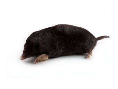 Moles (Talpa europaea) - Pest Solutions - Pest Control