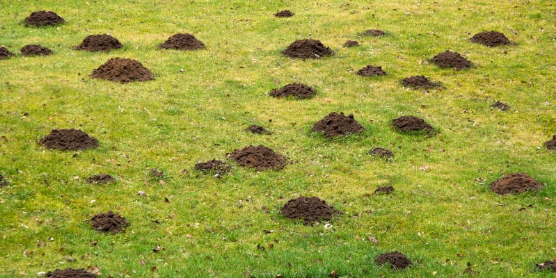 Moles (Talpa europaea) - Pest Solutions - Pest Prevention
