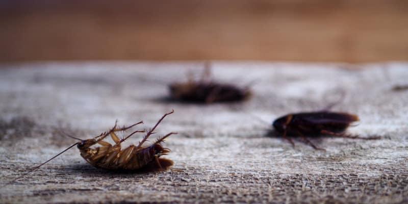Oriental Cockroaches (Blatta orientalis) - Pest Solutions - Pest Prevention