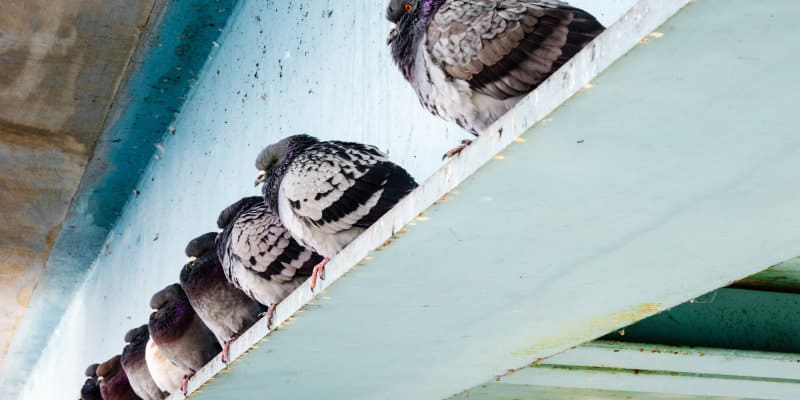 Pest Bird Control Glasgow - Pest Solutions - Pest Prevention