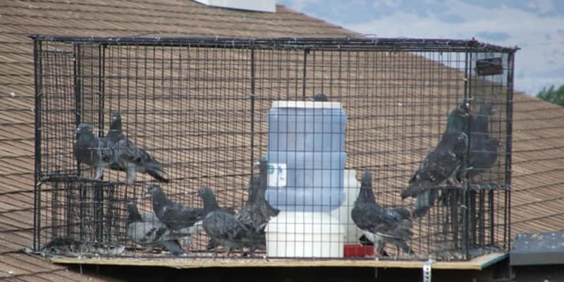 Pest Bird Trapping - Pest Solutions - Pest Bird Control Glasgow