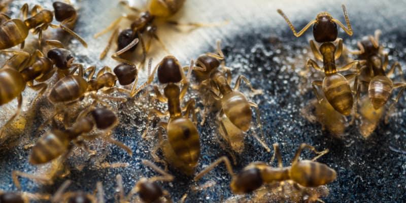 Pharaohs Ants (Monomorium pharaonis) - Pest Solutions - Pest Control Glasgow