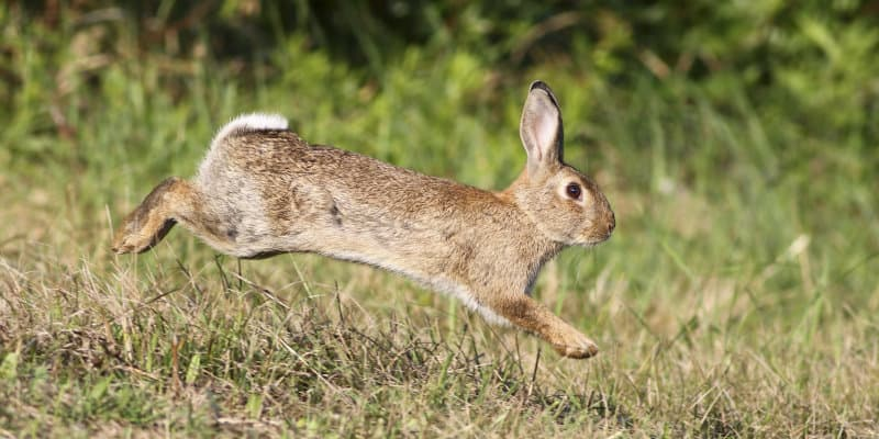 Rabbit Control Glasgow - Pest Solutions - Pest Prevention