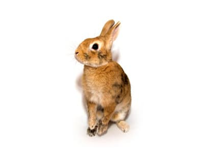 Rabbits (Oryctolagus caniculas) - Pest Solutions - Pest Control