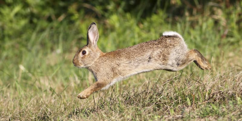 Rabbits (Oryctolagus caniculas) - Pest Solutions - Pest Prevention