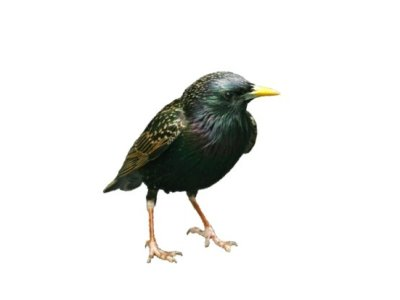 Starlings (Sturnus vulgaris) - Pest Solutions - Pest Control
