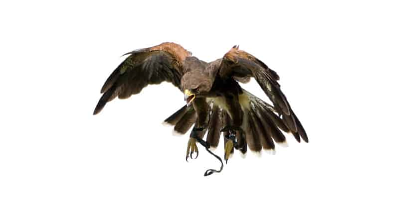 Visual Bird Scaring - Bird of Prey - Pest Solutions - Bird Control Glasgow