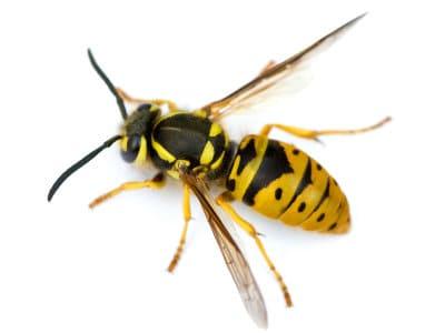 Wasps (Vespula vulgaris) - Pest Solutions - Pest Control